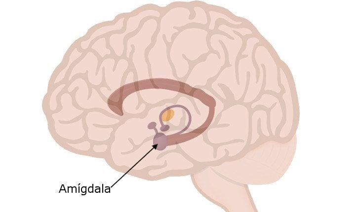 La amígdala se encuentra en el sistema límbico, y se encarga de procesar las emociones